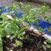 【雑草・野草】スベリヒユを食べる